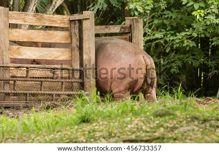 Hippo entering the farmyard