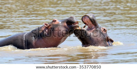 Hippo family (Hippopotamus amphibius) in the water, Kenya, Africa