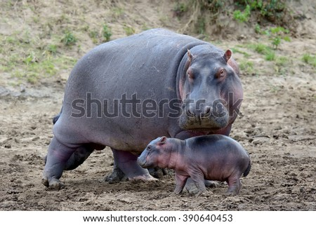 Hippo family (Hippopotamus amphibius) outside the water, Africa
