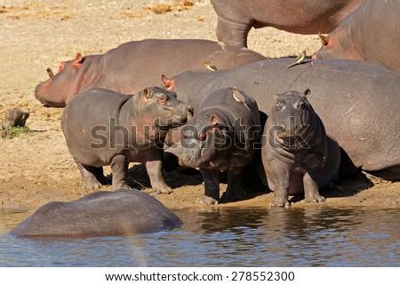 Hippo family (Hippopotamus amphibius) outside the water, South Africa - stock photo