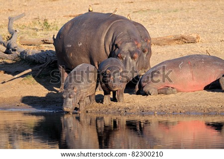 Hippo family (Hippopotamus amphibius), resting outside the water, South Africa - stock photo