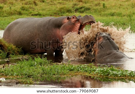 Hippo fight in Kenyan National Park - stock photo