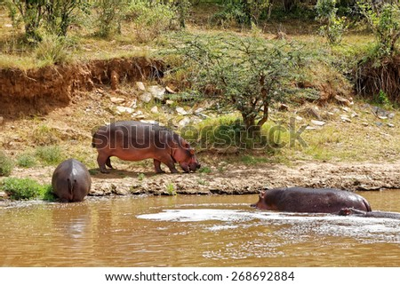 Hippo grazing on land next to river - stock photo