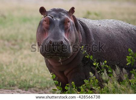 Hippo head on african savannah - stock photo