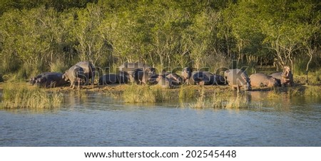 Hippo Herd - stock photo