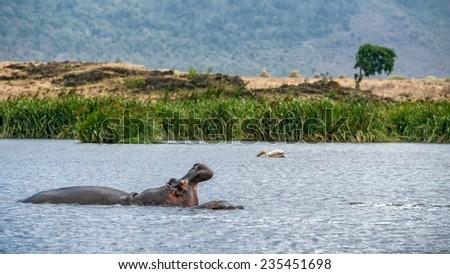 Hippo (Hippopotamus amphibius) showing jaw in the Ngorongoro crater, Tanzania - stock photo