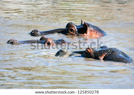 Hippo, hippopotamus group in river. Safari in Serengeti, Tanzania, Africa