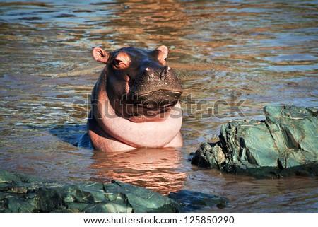Hippo, hippopotamus in river portrait. Safari in Serengeti, Tanzania, Africa - stock photo