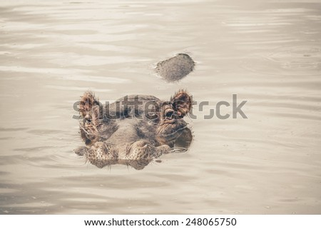 Hippo in the water. Mpongo game reserve. Eastern Cape. South Africa. - stock photo