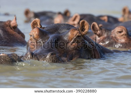 Hippo in water - stock photo
