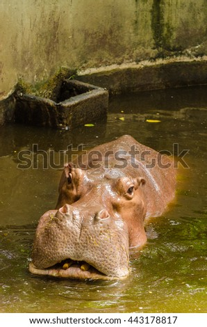 Hippo in water, South Africa