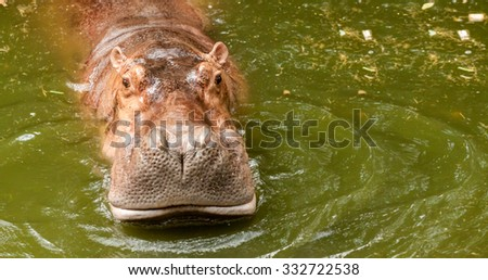 Hippo in water, South Africa, zoo - stock photo