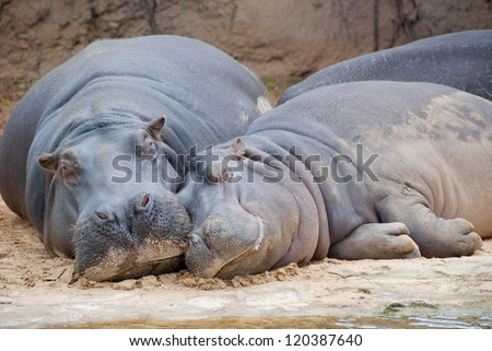 Hippo mother and child resting at riverbed in Africa - stock photo