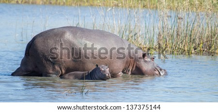 Hippo mother with calf in South Africa - stock photo