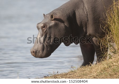 Hippo near water - stock photo