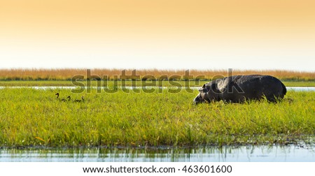 Hippo or Hippopotamus in the wild in Chobe National Park, Botswana, Africa
