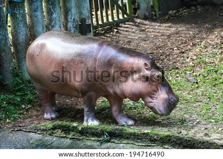 Hippo out of water,Thailand - stock photo