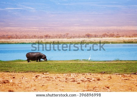 Hippo out of water walking in grass, Kenya, Africa