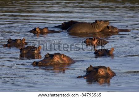 hippo pool - stock photo