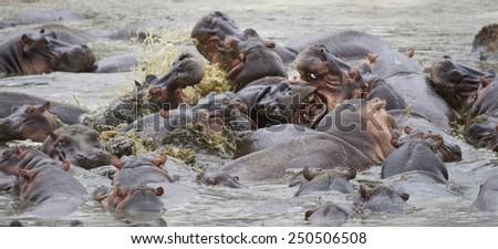Hippo pool. Hippos fighting. Serengeti. Tanzania - stock photo