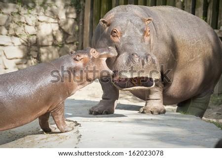 Hippo's family 4 - stock photo