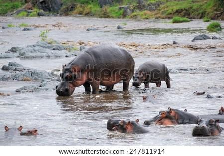 Hippo school at Seronera river, Serengeti, Tanzania  - stock photo