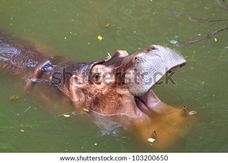 Hippo showing huge jaw - stock photo