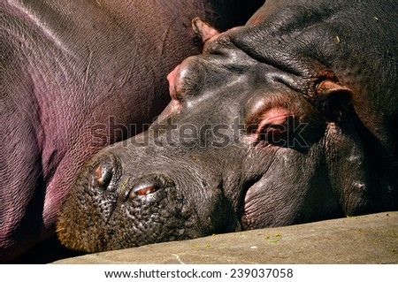 hippo sleeping zoo - stock photo