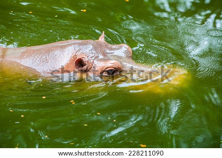 Hippo swiming in a zoo in  Thailand - stock photo