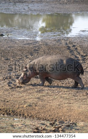 Hippo walking in South Luangwa National Park, Zambia, Africa - stock photo