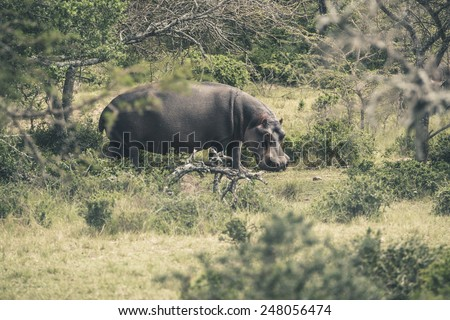 Hippo walking through bushes. Mpongo game reserve. South Africa. - stock photo