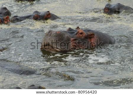 Hippo Wallowing - stock photo