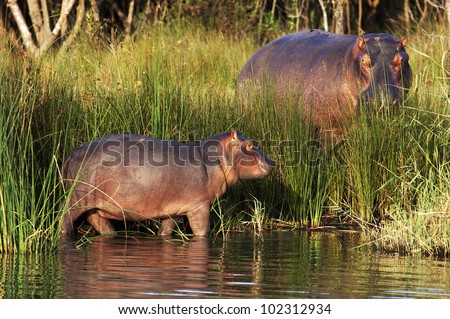 Hippo watching young calf - stock photo