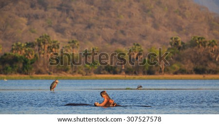 Hippo with his mouth open in the water at sunset - stock photo