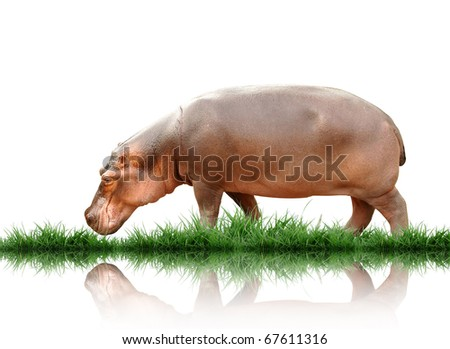 hippopotamus - stock photo