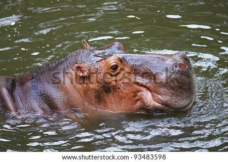 hippopotamus - stock photo