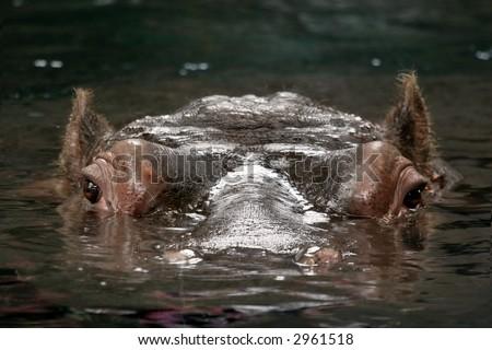 Hippopotamus amphibius - stock photo
