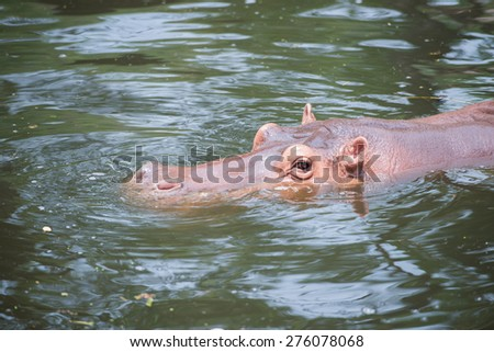 Hippopotamus are playing in the water