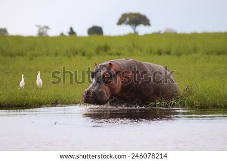 Hippopotamus - Chobe National Park - Botswana - stock photo