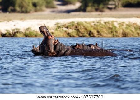 Hippopotamus - Chobe River, Chobe National Park, Botswana, Africa - stock photo