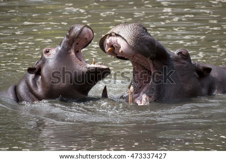 Hippopotamus couple playing in the water in a natural reserve
