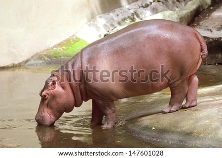 Hippopotamus drink water - stock photo