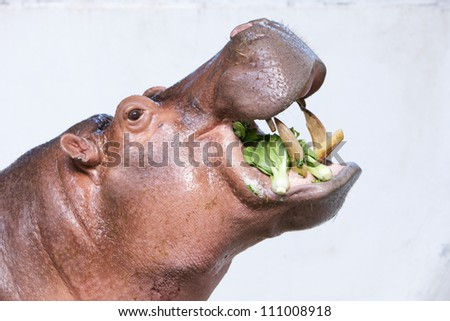 hippopotamus eating vegetable in a zoo on white background - stock photo