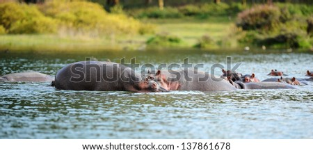Hippopotamus family was looking for food in the water. - stock photo