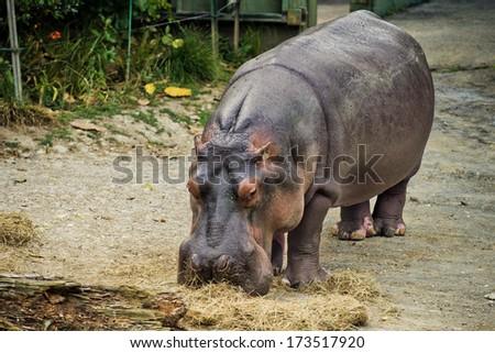 Hippopotamus feeding  - stock photo