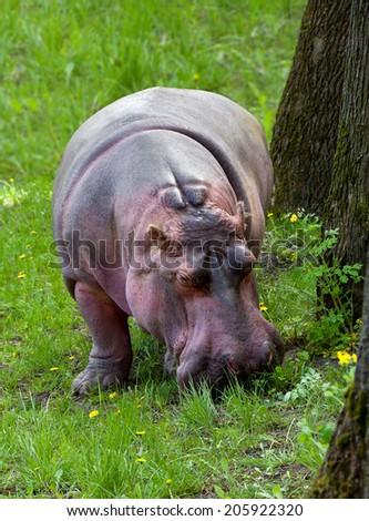 Hippopotamus grazing on green grass - stock photo