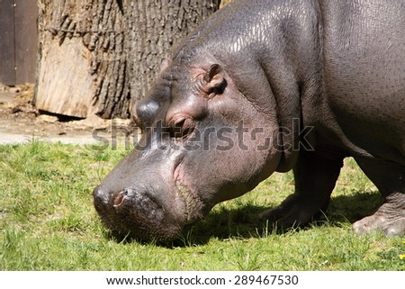 Hippopotamus head eating grass on the sunny day