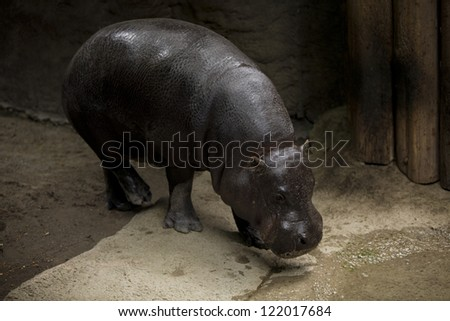 Hippopotamus heading towards pond for a drink. - stock photo