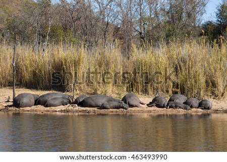 Hippopotamus herd sunbathing on a river bank