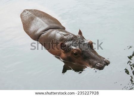 Hippopotamus (Hippopotamus amphibius).  - stock photo